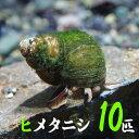(貝)ヒメタニシ(-cm)(10匹)【水槽/熱帯魚/観賞魚/飼育】【生体】【通販/販売】【アクアリウム/あくありうむ】