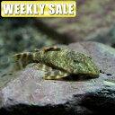 (熱帯魚)( 週替わり限定)ワイルド シルバーアロワナ Sサイズ(5-6cm)(ベビー)(1匹)