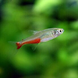 (ネオスセール)(熱帯魚 生体)グリーンファイヤーテトラ(約3cm)(10匹)