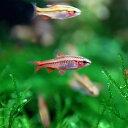 (熱帯魚 生体)チェリーバルブ(約1.5-2cm)(5匹)【水槽/熱帯魚/観賞魚/飼育】【通販/販売】【アクアリウム】
