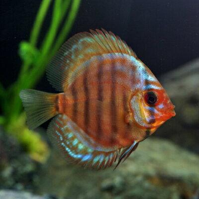 熱帯魚レッドロイヤルブルーディスカス(タイ産)(約5cm)<1匹>