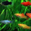 (ネオスセール)(熱帯魚 生体)ミックスプラティ (雌雄指定、種類指定不可)(約3-3.5cm)(50匹)【水槽/熱帯魚/観賞魚/飼育】【生体…