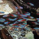 (熱帯魚)ネオンテトラ SMサイズ(約2cm)(50匹)【水槽/熱帯魚/観賞魚/飼育】【生体】【通販/販売】【アクアリウム/あくありうむ】