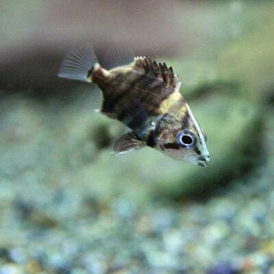 ▼ダトニオプラスワン(約2cm)<20匹>【水槽熱帯魚観賞魚飼育】