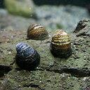 (貝)カバグチカノコ 貝(約2cm)(6匹)【水槽/熱帯魚/観賞魚/飼育】【生体】【通販/販売】【アクアリウム/あくありう…