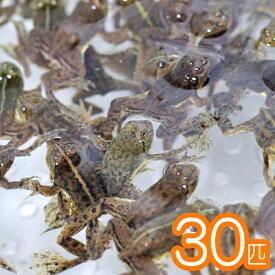 (両生類)アジアウキガエル(約3cm)(30匹)【水槽/熱帯魚/観賞魚/飼育】【生体】【通販/販売】【アクアリウム/あくありうむ】