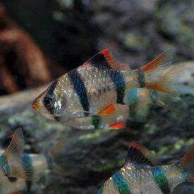 (熱帯魚 生体)スマトラ(約2cm)(6匹)【ねったいぎょ】【水槽/熱帯魚/観賞魚/飼育】【生体】【通販/販売】【アクアリウム/あくありうむ】
