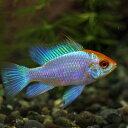 (熱帯魚)ゴールドヘッドコバルトブルーラミレジ(約3cm)(1匹)【水槽/熱帯魚/観賞魚/飼育】【生体】【通販/販売】【アクアリウム】【…