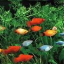(スーパーセール)(熱帯魚)ミックスプラティ (雌雄指定、種類指定不可)(約3-3.5cm)(20匹)【水槽/熱帯魚/観賞魚/飼育】【生体】…