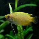 (サマーフェア)(熱帯魚)ゴールデンハニードワーフグラミー(約4cm)(3匹)【水槽/熱帯魚/観賞魚/飼育】【生体】【通販/販売】【アク…