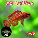 (熱帯魚 生体)スカーレットジェム(約1.5cm)(1ペア)【水槽/熱帯魚/観賞魚/飼育】【生体】【通販/販売】【アクアリウム】
