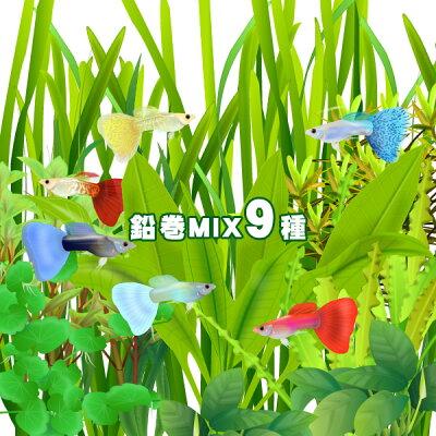 ▼水草鉛巻きMIX9種!前景〜後景までバランス良く揃ったオススメ商品です!