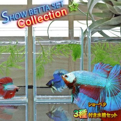 ベタ飼育コレクションシリーズショーベタ生体付き水槽Mセット【新着】【水槽セット】【飼育セット】【新着】