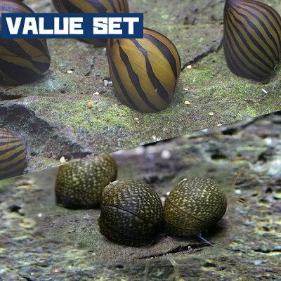 【バリューセット】▼シマカノコ貝(約-cm)(5匹)+石巻貝(約-cm)(5匹)