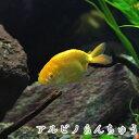 (金魚)国産 アルビノらんちゅう (3cm前後)(1匹)【水槽/熱帯魚/観賞魚/飼育】【生体】【通販/販売】【アクアリウム】