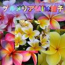 (決算セール)(種)プルメリア MIX 種子 36粒【熱帯植物】【エキゾチックプランツ】【水槽/熱帯魚/観賞魚/飼育】【生体】【通販/販売…
