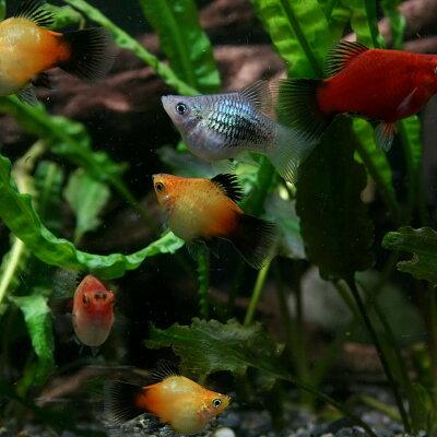 ▼MIXバルーンプラティ(約2cm)<3匹>【再入荷】【水槽/熱帯魚/観賞魚/飼育】【生体】【通販】【アクアリウム】