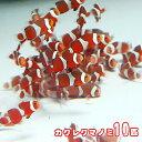 (海水魚)( オススメ)カクレクマノミ ( ブリード )(10匹)【水槽/熱帯魚/観賞魚/飼育】【生体】【通販/販売】【アクアリウム/あくあ…