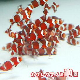 (海水魚)( オススメ)カクレクマノミ ( ブリード ) (10匹)【水槽/熱帯魚/観賞魚/飼育】【生体】【通販/販売】【アクアリウム/あくありうむ】
