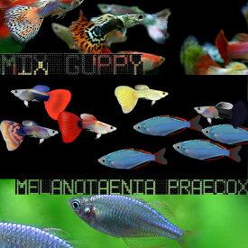 (熱帯魚 生体)( オススメ)ミックスグッピー (外国産)(約3cm)(3ペア)+ ネオンドワーフレインボー(約2-3cm)(3匹)