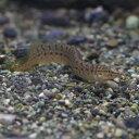 (熱帯魚)インド グリーンスパイニーイール  (約6-8cm)(1匹)【水槽/熱帯魚/観賞魚/飼育】【生体】【通販/販売】【…