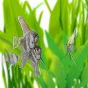 (熱帯魚)外国産ミックスエンゼルフィッシュ M(約4-6cm)(3匹)【水槽/熱帯魚/観賞魚/飼育】【生体】【通販/販売】【アクアリウム】