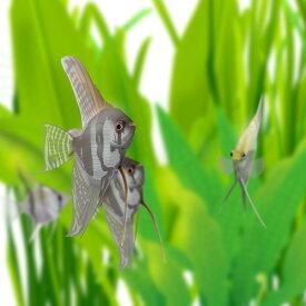 (熱帯魚 生体)外国産ミックスエンゼルフィッシュ M(約4-6cm)(3匹)【水槽/熱帯魚/観賞魚/飼育】【生体】【通販/販売】【アクアリウム/あくありうむ】
