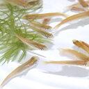 (サマーセール)(日淡)ヒメダカ(約2cm)(50匹)【水槽/熱帯魚/観賞魚/飼育】【生体】【通販/販売】【アクアリウム】