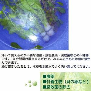 クロネコDM便AIネット水草その前に…【農薬・付着生物を安全に除去!】【水槽/熱帯魚/観賞魚/飼育】【生体】【通販/販売】【アクアリウム】
