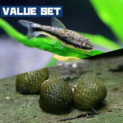 【バリューセット】▼オトシンクルス(約2.5-3cm)(4匹)+石巻貝(約1.5-2cm)(4匹)【新着】