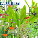 (熱帯魚 生体)【バリューセット】5種類以上入っています おまかせカラシン&ラスボラ&バルブ(約1.5-2.5cm)(10匹)【水槽/熱帯魚/観…