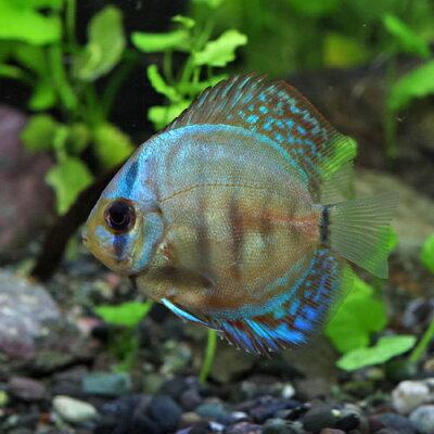 熱帯魚ディスカスブルーダイヤモンドディスカス(タイ産)(約5cm)<1匹>