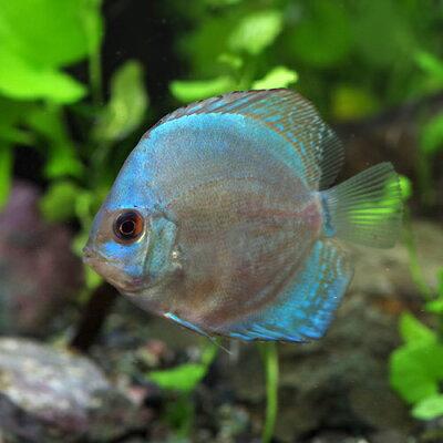 熱帯魚マリンブルーディスカス(タイ産)(約5cm)<1匹>