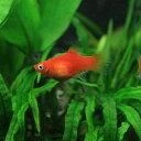 (熱帯魚)レッドプラティ(約3-3.5cm)(6匹)【水槽/熱帯魚/観賞魚/飼育】【生体】【通販/販売】【アクアリウム】