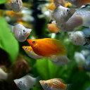 (熱帯魚 生体)ミックスバルーンモーリー(約2-3cm)(4匹)【水槽/熱帯魚/観賞魚/飼育】【通販/販売】【アクアリウム】