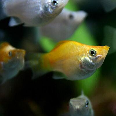 ミックスバルーンモーリー(約3cm)<4匹>【熱帯魚】