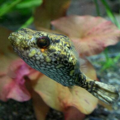 水槽熱帯魚▼インドシナレオパードパファー(約8-10cm)<1匹>