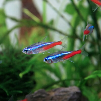 熱帯魚ネオンテトラLサイズ(約3cm)<25匹>