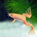 (両生類)アルビノアフリカツメガエル(約3-4cm)(10匹)【水槽/熱帯魚/観賞魚/飼育】【生体】【通販/販売】【アクア…