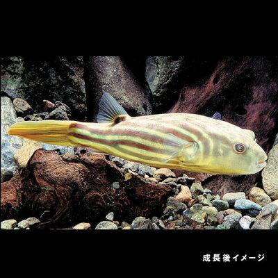 水槽熱帯魚▼テトラオドンファハカ(約2cm)<1匹>