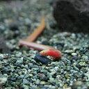 (熱帯魚 生体)インドピンクウナギ(8-12cm)(1匹)【水槽/熱帯魚/観賞魚/飼育】【生体】【通販/販売】【アクアリウム…