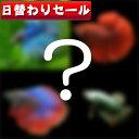(熱帯魚 生体)( 日替わり限定)ワクワク ショー ベタ  種類おまかせ(約4-5cm)<1ペア> 【水槽/熱帯魚/観賞魚/…