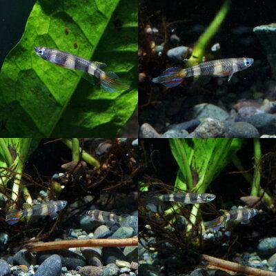 熱帯魚クラウン・キリー(アニュレータス)(約3cm)<3匹>