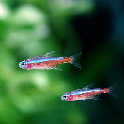 カージナルテトラ【ブリード】(約2cm)<25匹>【熱帯魚】