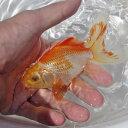 (金魚)【数量限定】 鹿の子 大井オランダ (約11cm)<1匹>【水槽/熱帯魚/観賞魚/飼育】【生体】【通販/販売】【アクアリウム/あく…