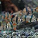 (熱帯魚)スマトラ(約2cm)(5匹)【水槽/熱帯魚/観賞魚/飼育】【生体】【通販/販売】【アクアリウム】