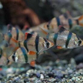 (スプリングセール)(熱帯魚 生体)スマトラ(約2cm)(3匹)