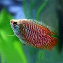 (サマーセール)(熱帯魚)ドワーフグラミー (約4cm)(1ペア)【水槽/熱帯魚/観賞魚/飼育】【生体】【通販/販売】【…