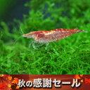 (感謝セール)(エビ)レッドチェリーシュリンプ(約1.5cm)(6匹)【水槽/熱帯魚/観賞魚/飼育】【生体】【通販/販売】【アクアリウム/あ…