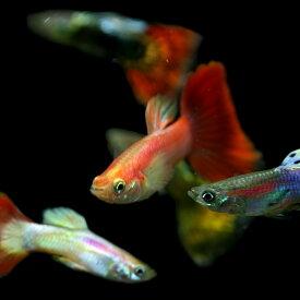 (熱帯魚 生体)( オススメ)ミックスグッピー (外国産)(約3cm)(5ペア)【水槽/熱帯魚/観賞魚/飼育】【生体】【通販/販売】【アクアリウム/あくありうむ】